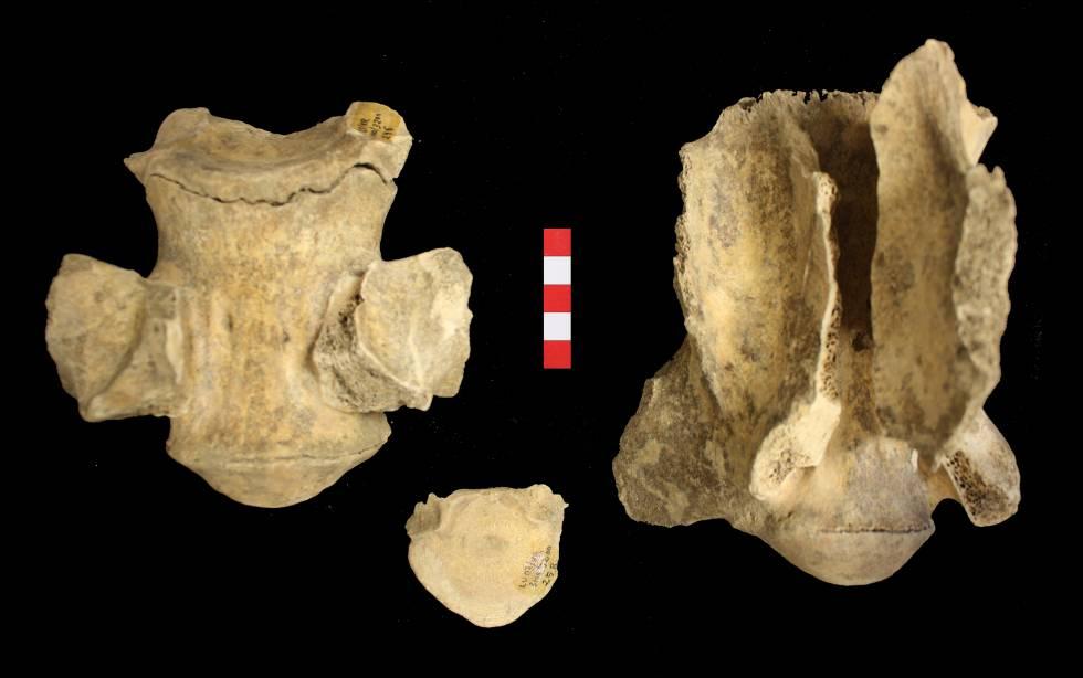 Las dos vértebras de camélido halladas en Lugo.