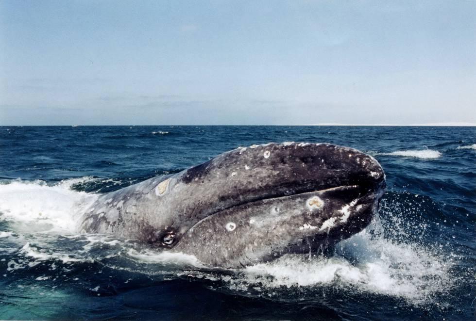Fotografía del 18 de febrero de 2017 de un ejemplar de ballena gris en las costas de Baja California Sur.