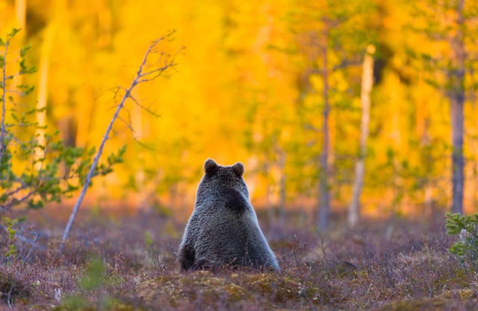 Oso pardo en un bosque en Pirttivaara, en la Karelia finlandesa.