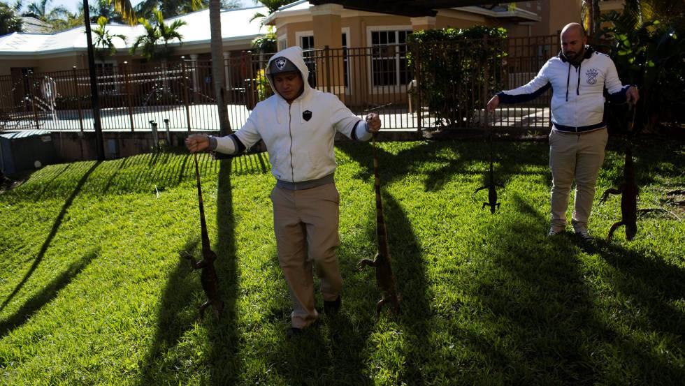 Lluvia\' de iguanas en Florida por las bajas temperaturas | Blog ...