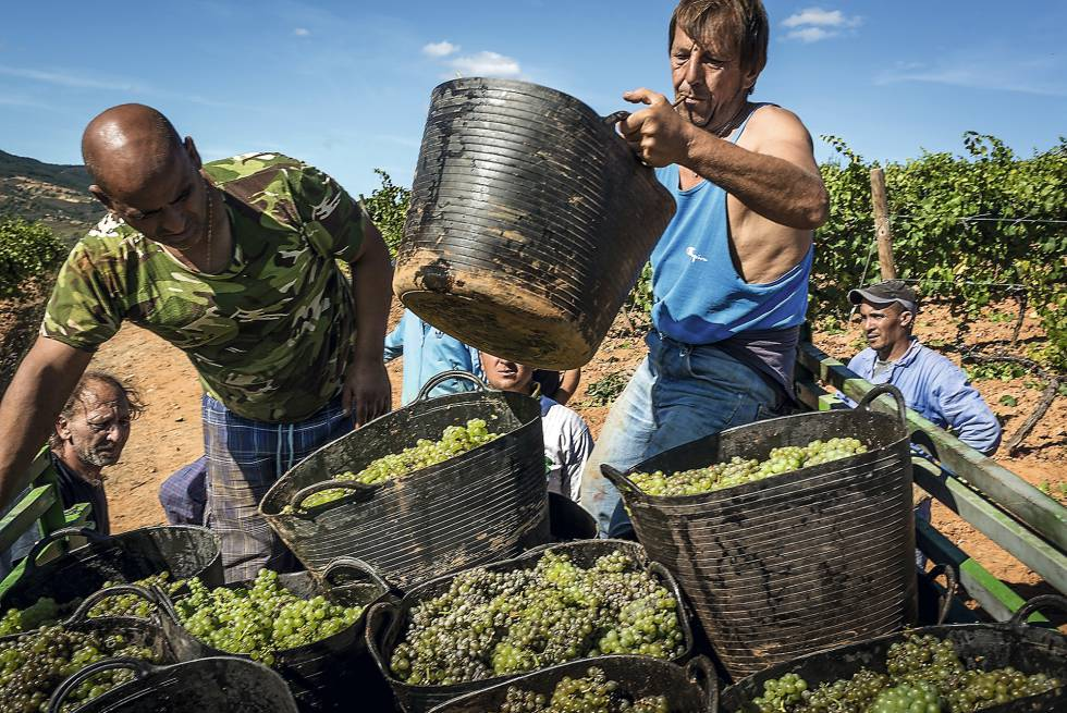 Harvesting the grapes at Raúl Pérez winery in El Bierzo.