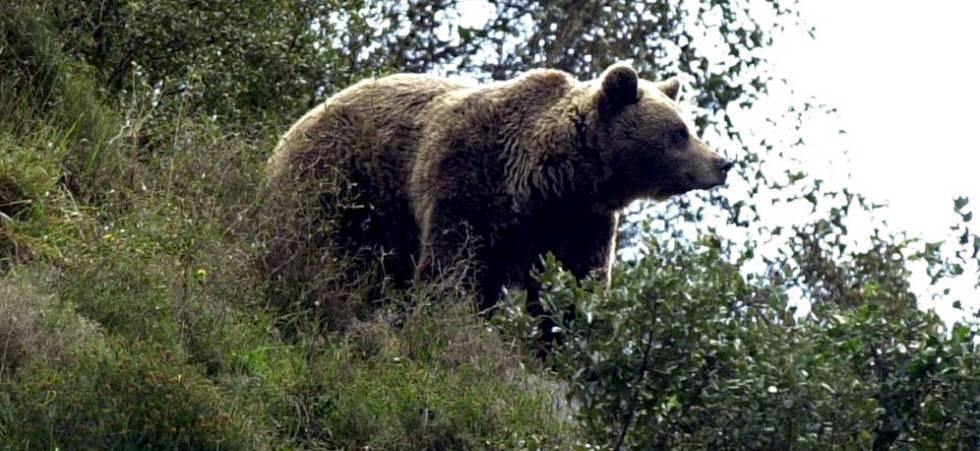 Muere la osa Tola, icono de la recuperación del oso pardo en España