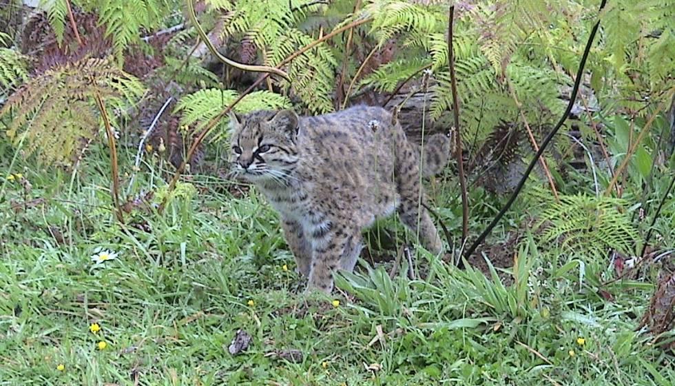 Una Esperanza Para La Güiña El Pequeño Gato Tigre Americano