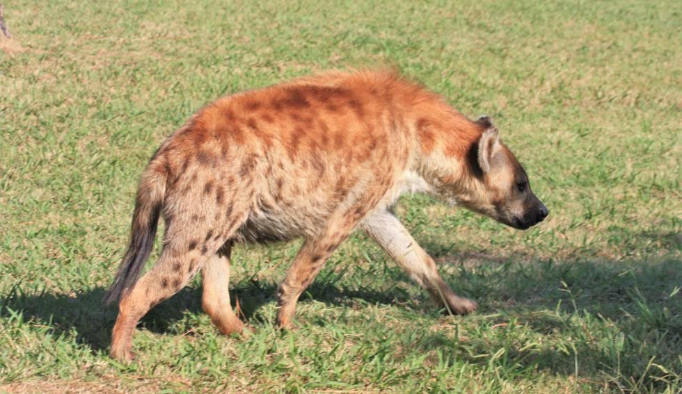 Un ejemplar de hiena manchada.
