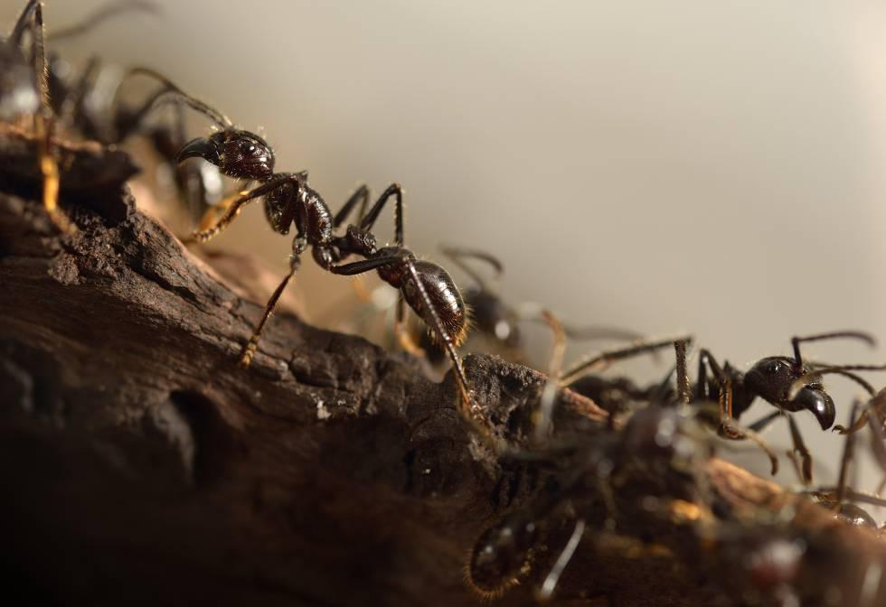 Varias hormigas gigantes.