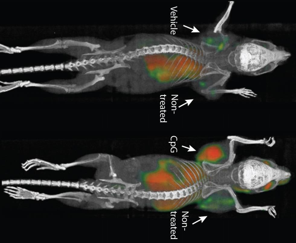 Una vacuna elimina tumores y sus metástasis ocultas en ratones