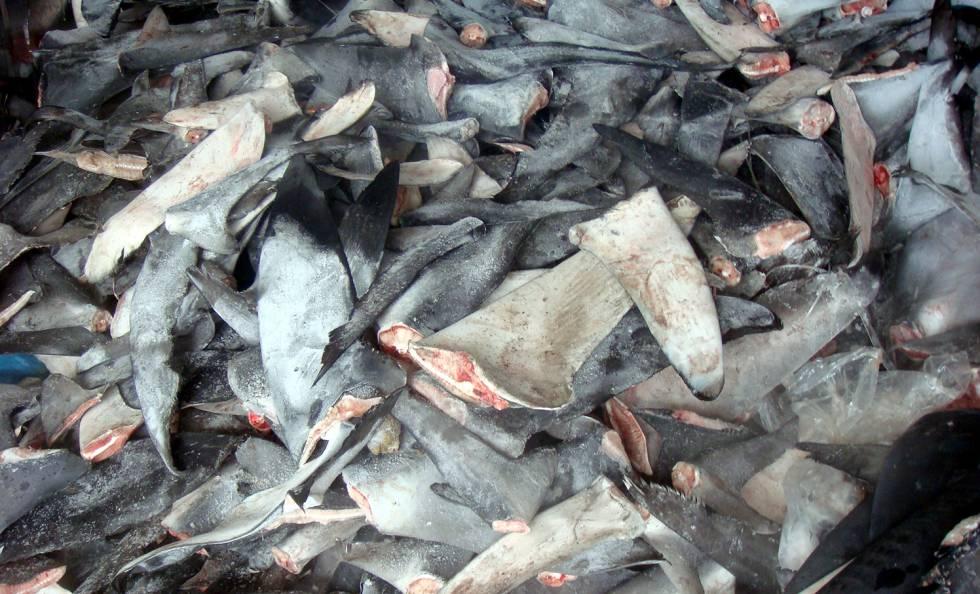Aletas de tiburón cortadas.