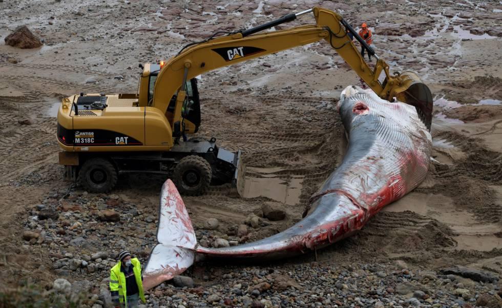 Una ballena de 18 metros de largo, este viernes en la playa de Morís, en Caravia.