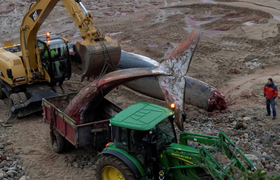 Una excavadora y un tractor proceden a retirar este viernes los restos de la ballena hallada muerta este jueves en Caravia.