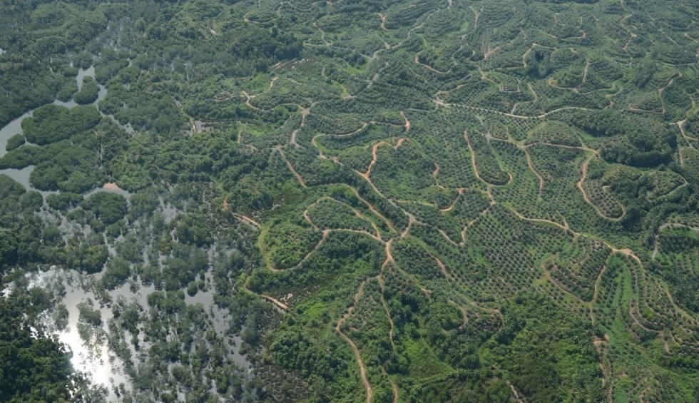 Los trozos de selva que van quedando se pierden entre las plantaciones de palma y los caminos que llevan hasta ellas.