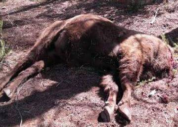 Second headless bison found inside Spanish animal sanctuary