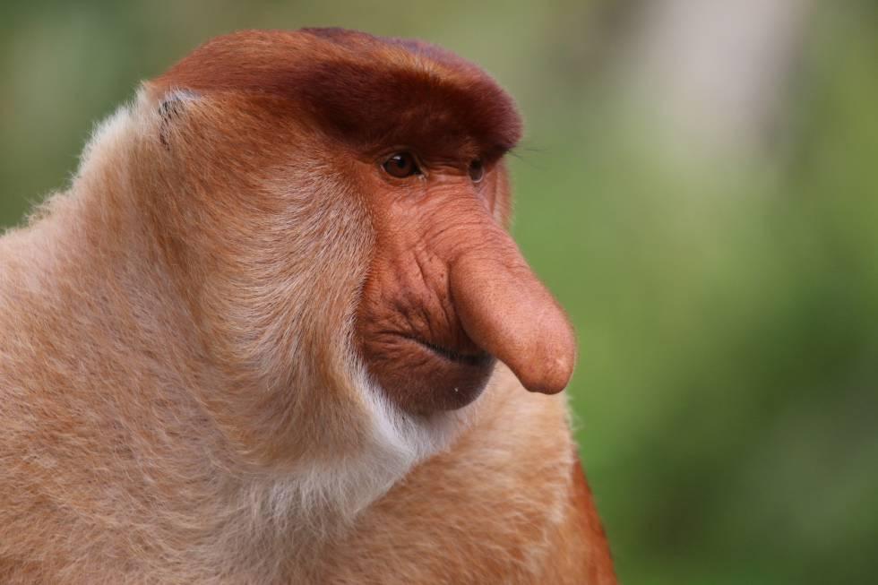 El Mono Que Desarrolla Una Nariz Enorme Para Tener Más Sexo Y