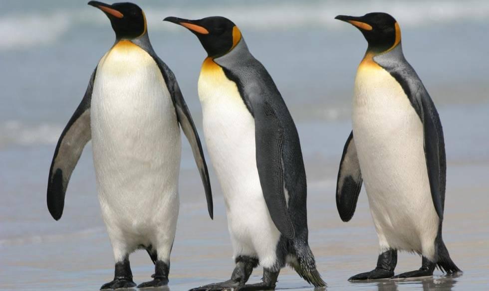 Tres ejemplares de pingüino rey.