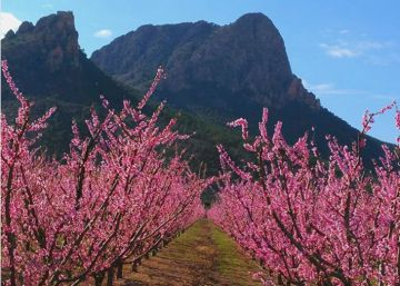 Spanish town of Cieza showcases annual attraction: orchards in full bloom