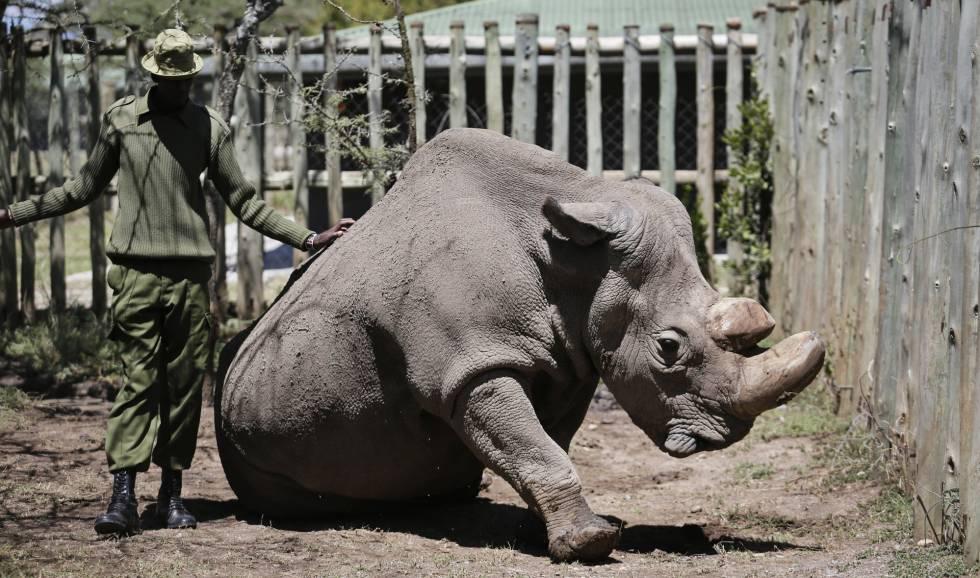 Sudan El Ultimo Rinoceronte Blanco Del Norte Que Queda En El Mundo En Una