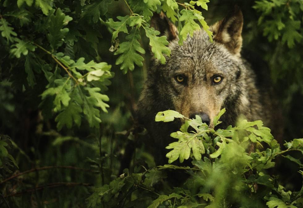Un lobo ibérico ('Canis lupus signatus'), en Castilla y León.