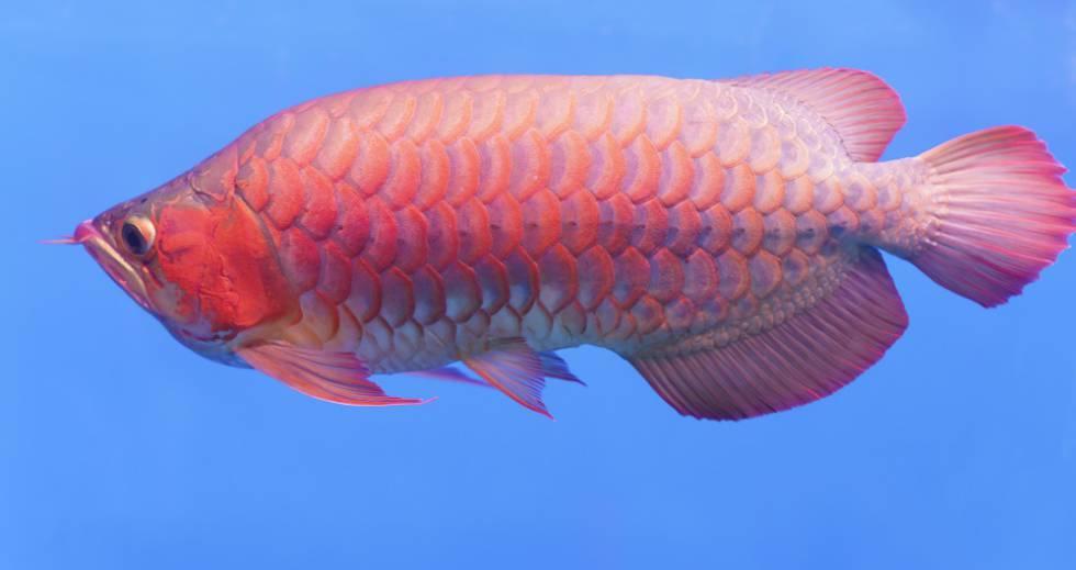 Los peces tambi n pasan por el quir fano en singapur for Lonas para estanques de peces