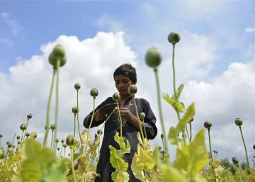 An Afghan boy collects raw opium in the Surkhroad district of Jalalabad, east of Kabul, Afghanistan, Tuesday, April 17, 2018. In its Afghanistan Opium Survey 2017 report, released last November, the United Nations Office on Drug and Crime revealed an 87 per cent increase of opium production compared to 2016. (AP PhotoMohammad Anwar Danishyar)