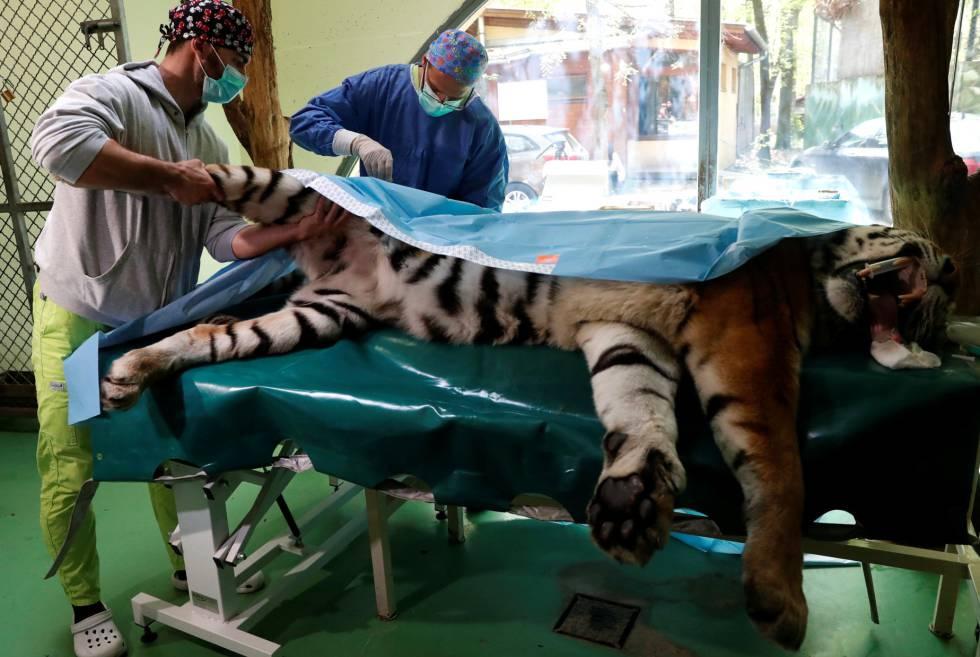Los veterinarios intervienen la cadera de Igor.
