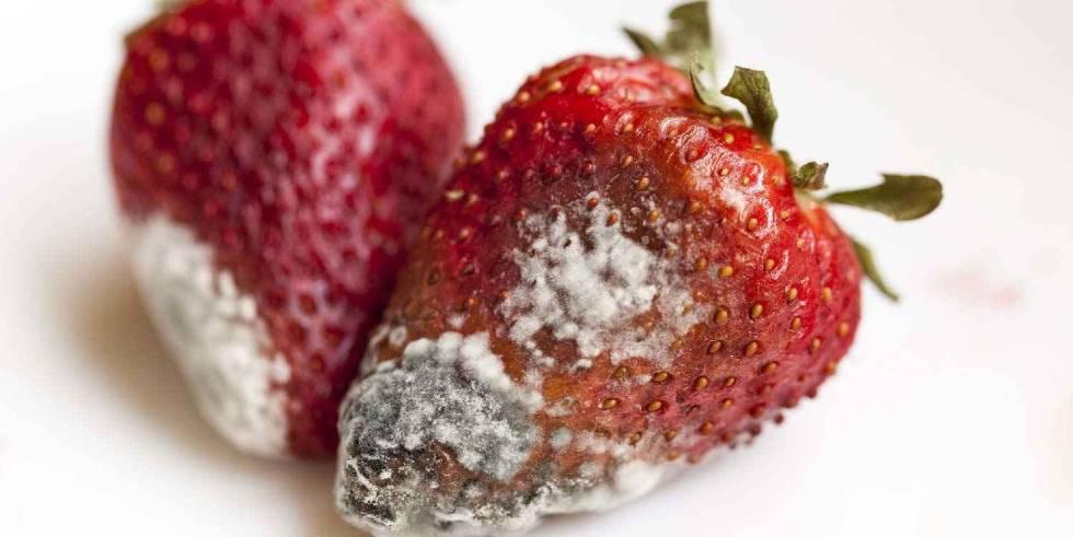 Fresas afectadas por el hongo 'Botrytis cinerea'.