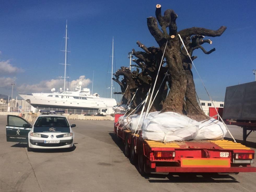 La Guardia Civil inmoviliza en el puerto de Palma olivos sospechosos de hospedar la bacteria 'Xylella fastidiosa', en enero de 2017.
