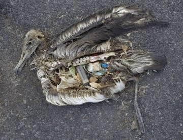 Un albatros, con el estómago lleno de plástico.