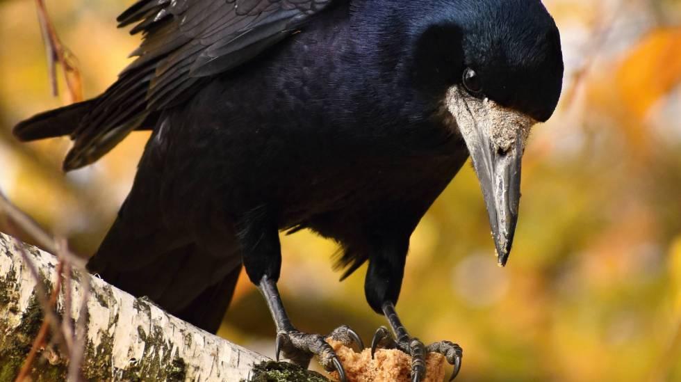 Los cuervos son uno de los pájaros más inteligentes.