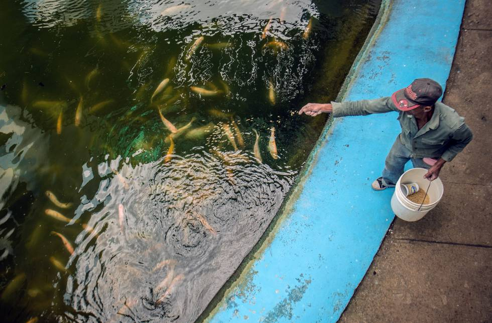 Locos por la tilapia estilo el pa s for Cria de tilapia en estanques pequenos
