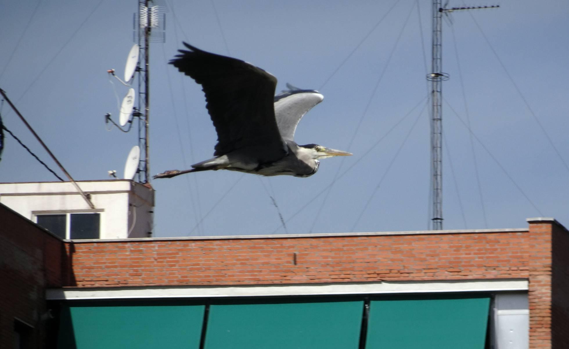 La fauna del Manzanares Las aves y los peces se multiplican en el río de Madrid