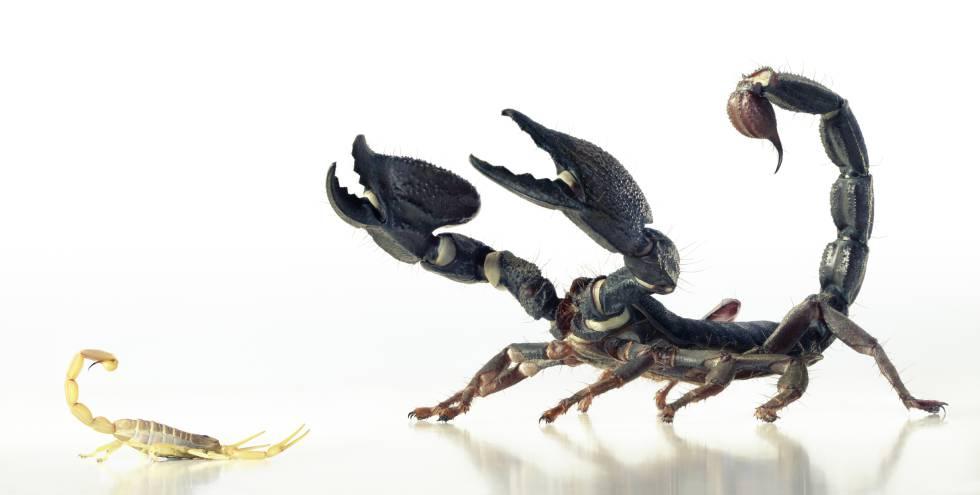 Dos especies distintas de escorpión con los aguijones alzados.