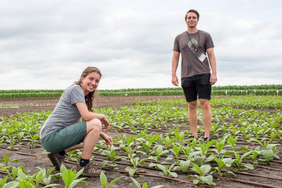La bióloga Patricia López y su colega Kenny Brown, en una plantación de tabaco.