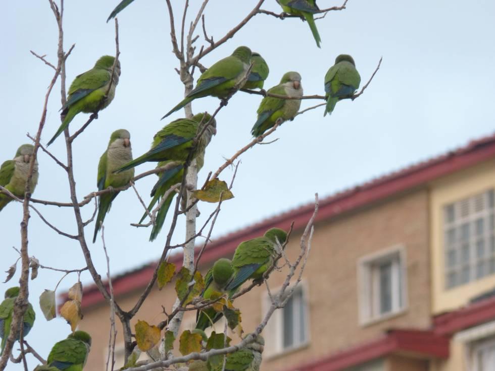 Un grupo de cotorras argentinas en un parque de Málaga.