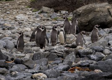 How penguins toppled two Chilean government ministers