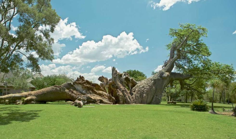 El Platland, milenario baobab de Sudáfrica, tras colapsar a finales de 2017.