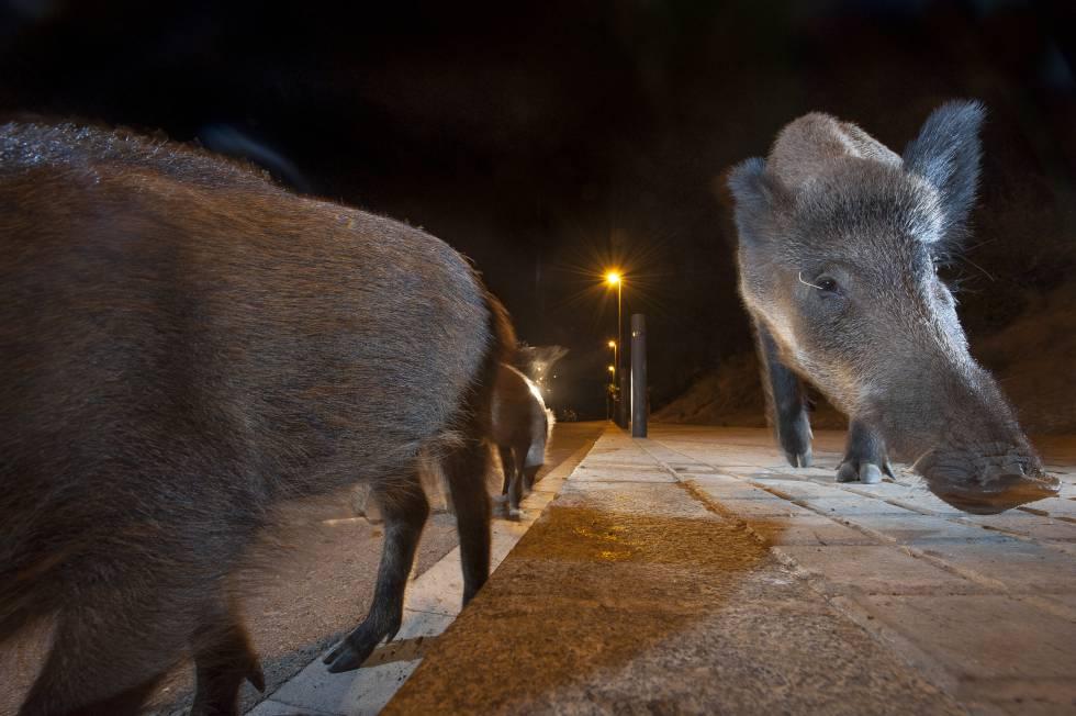 animais estão se tornando mais noturnos para evitar os humanos