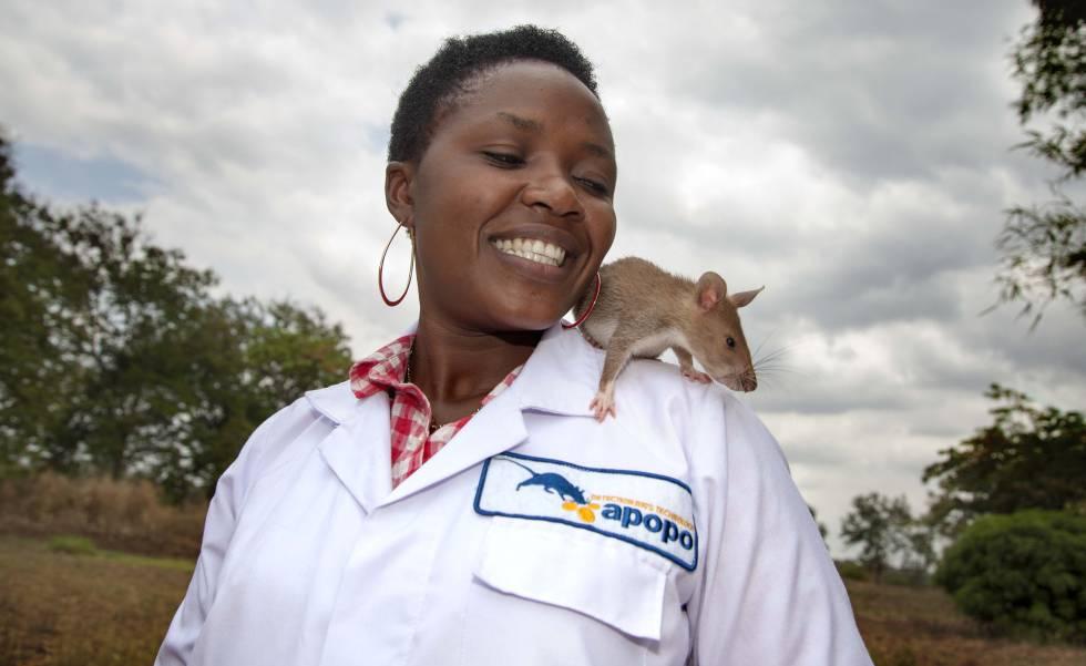 Las ratas permiten confirmar diagnósticos de tuberculosis a decenas de miles de personas en Mozambique.
