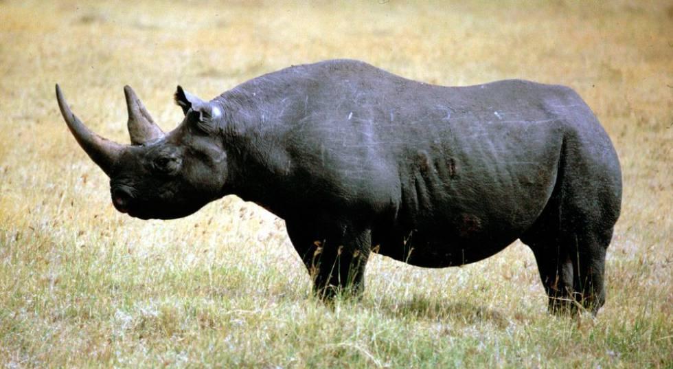 Resultado de imagen de rinoceront negre