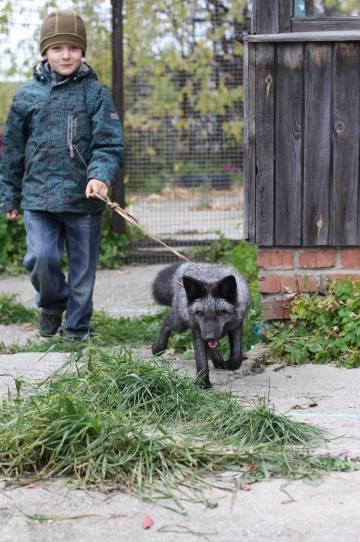 El experimento va por quincuagésima generación y ha llegado a tener más de 600 zorros domesticados.