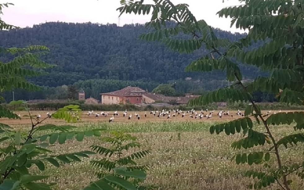Un grupo de cigüeñas en uno de los campos del municipio.