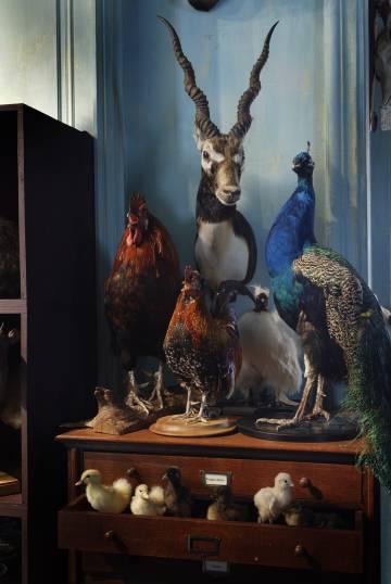Un ejemplar de Antilope cervicapra argentino junto a varias especies de pájaro.