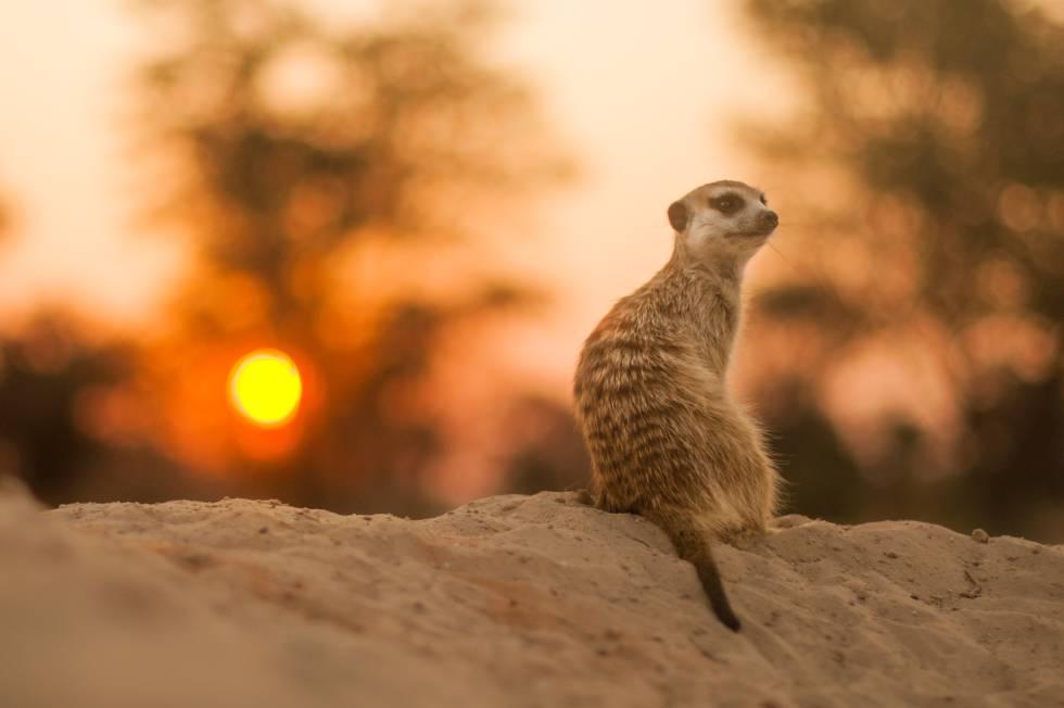 Un suricato solitario en el desierto del Kalahari