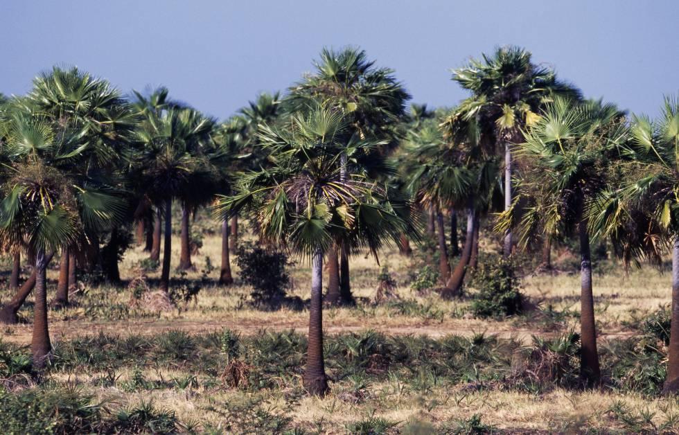 Plantación de mauritia flexuosa en Venezuela.