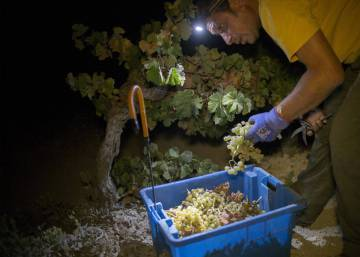 Grape picking by night: the new trend at Spain's Jerez wineries