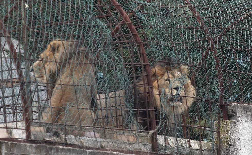 Varios leones recorren el interior de su jaula en el clausurado Safari Zoo Park ubicado en Mbrostar, Albania.