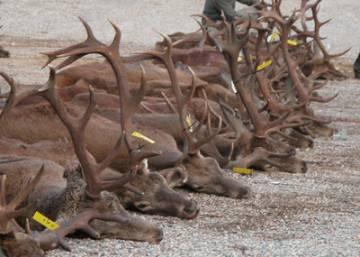 Se caza por placer y no para comer la carne, por lo que el despilfarro no importa