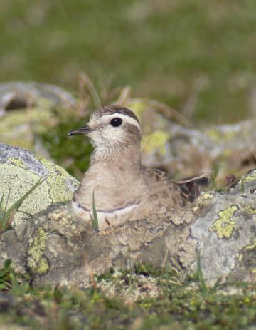 La mayoría de las aves limícolas, como este chorlito carambolo, anida en el suelo.