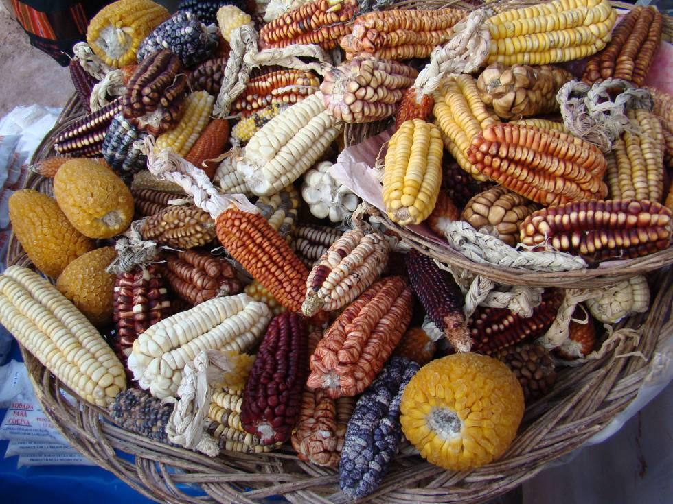 El maíz también se domesticó en la selva amazónica