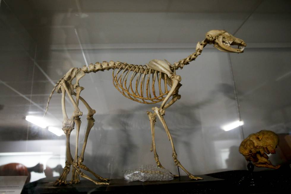Un esqueleto de perro con cinco patas y seis pies, en el Museo Veterinario de la Complutense.