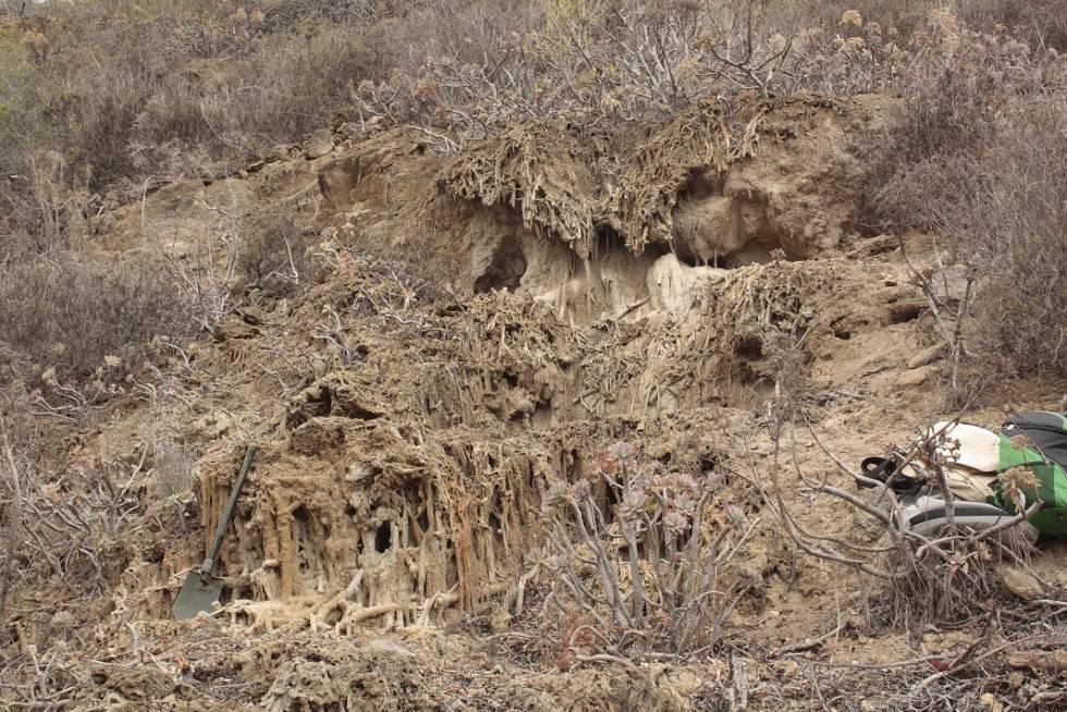 Tallos de plantas calcificados (toba) en el barranco de Calabozo.