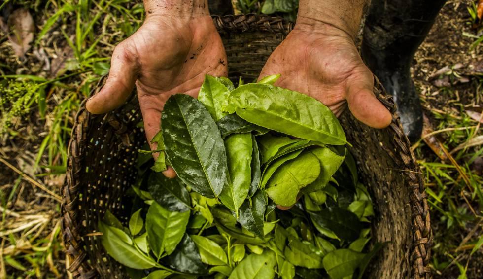Plantas medicinales para bajar de peso en el ecuador